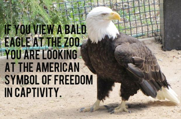 IF YOU VIEW A BALD EAGLE AT THE ZOO, YOU ARE LOOKING AT THE AMERICAN SYMBOL OF FREEDOM IN CAPTIVITY.